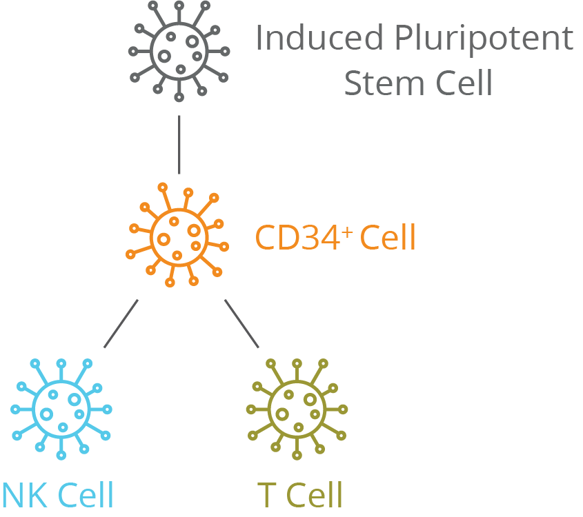 Induced Pluripotent Stem Cell CD34+ NK Cell T Cell